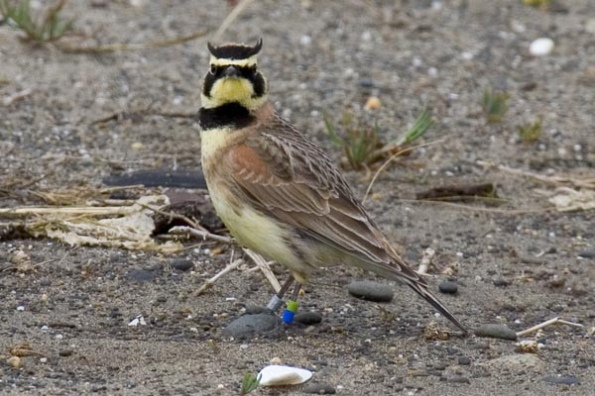 RS9549_streaked_horned_lark_David_Maloney_USFWS_FPWC_Media_use_OK