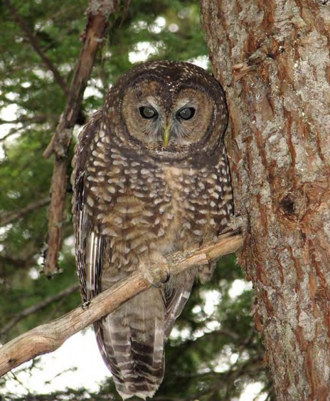 spotted-owl.jpg